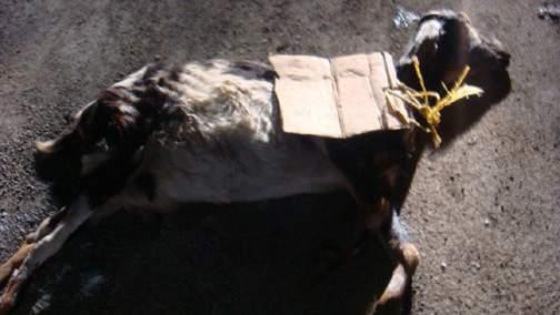 ball-goat1