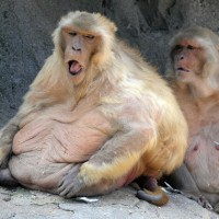 baboons1