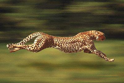 Forex gepard