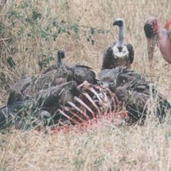 vulture7