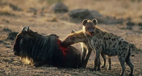 hyena eating wildebeest back1