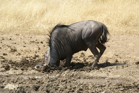 wildebeest head in mud