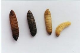 Dead Byrd Larvae