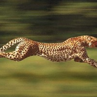 Usain Bolt vs. A Cheetah