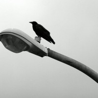 To the Crows
